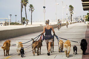 Dog walker walking 9 dogs