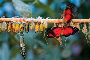 Birth of butterflies from cocoons