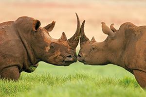 Two rhinos head to head