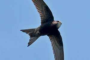 Swift bird flying over head