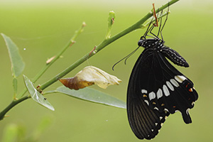 Newly transformed Papilionidae butterfly