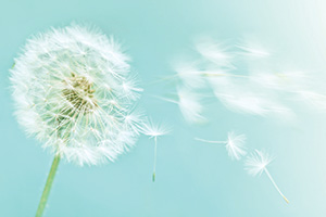 Dandelion on a blue sky background