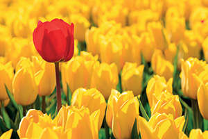 Field of yellow tulips and one red tulip