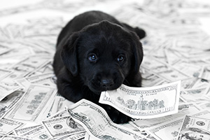 Black Labrador puppy lying in a pile of money