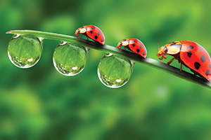 3 ladybugs on a dewy piece grass
