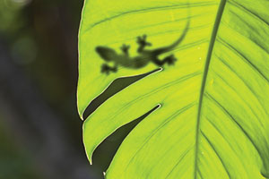 Shadow of a gecko lizard on a leaf
