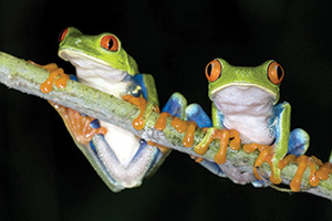 Two frogs sitting on a branch