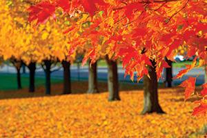 Autumn tress with orange leaves