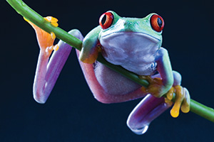 Exotic red eyed frog
