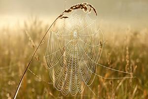 Spiders web in a corn field