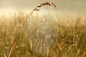 Spiders web in a corn field