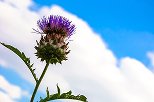 Single thistle flower against the bright blue sky