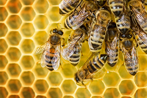 Worker bees surrounding honeycomb