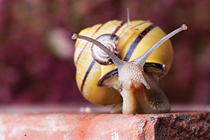 Yellow and black banded snail carrying a tiny snail on back