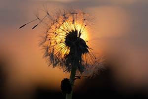 Dandelion being blown in the wind during sunset
