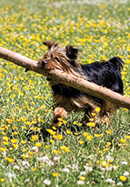 Small dog carrying large stick