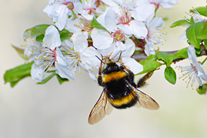Bumble bee on a cherry flower