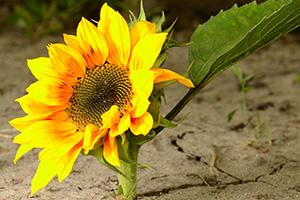 Sunflower growing through dry cracked ground