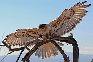 Beautiful hawk in the desert