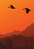 Birds migrating in the sunset