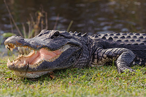 Aggressive alligator peering from the water