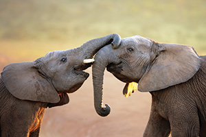 Two elephants greeting each other