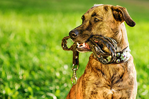 Dog carrying leash in mouth