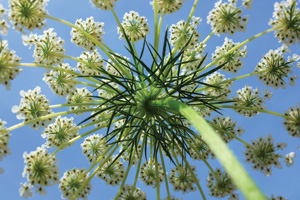 Wild carrot birds nest