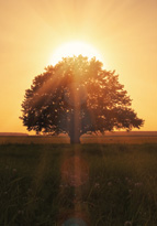 Tree in a field during sunrise