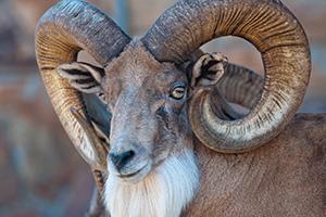 Close up of ram
