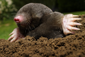 Mole digging out from the ground