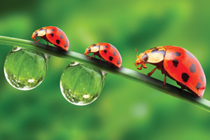 Three different sized lady birds