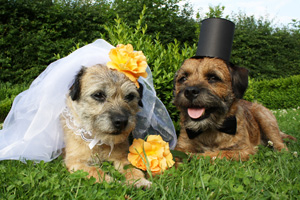 Dog dressed up as bride and groom