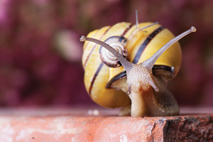 Closeup of a yellow and black snail