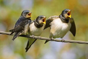 Baby birds tweeting loudly