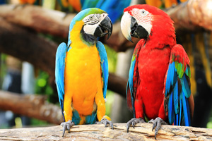 Two parrots talking to each other