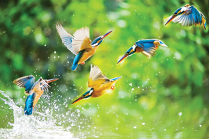 Kingfisher birds diving for fish