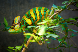 Chameleon Camouflaging in tree