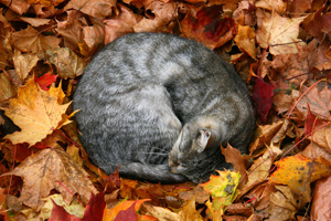 Grey tabby cat curled up asleep in a pile of autumn leaves