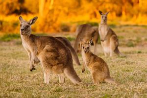 Group of kangaroos