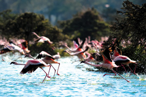 Flamingoes on lake Naivasha