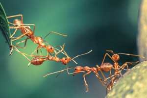 Red ants forming bridge of themselves as a unit