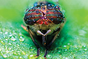 Close up view of a fly with its big eyes covered in water