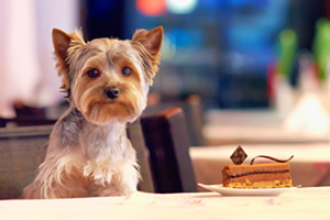 Yorkshire Terrier dog sitting at a table with cake