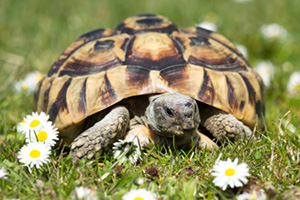 Hermanni Tortoise in the garden