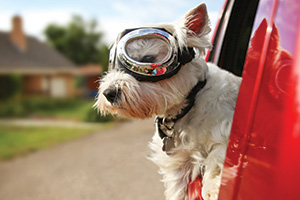 Cute west terrier dog with goggles sticking their head out of moving car