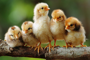 Cute little chicks lined up on a branch