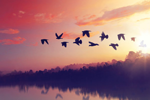 Silhouettes of flying birds at sunset