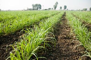 Baby sugar cane farm in India