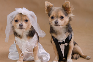 Male and female chihuahuas dressed as bride and groom